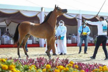 """""""أميرة المكتوب"""" تلفت الأنظار في اليوم الثاني لبطولة الظفرة للخيول العربية"""